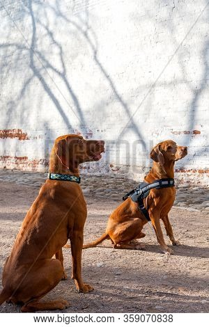 Hungarian Pointing Dog Or Vizsla In Outdoor In A Park.