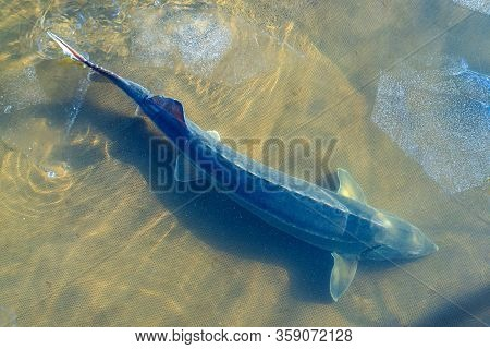 The Sturgeon Big Fish In River Water. This Fish Is A Source For Caviar And Tasty Flesh.