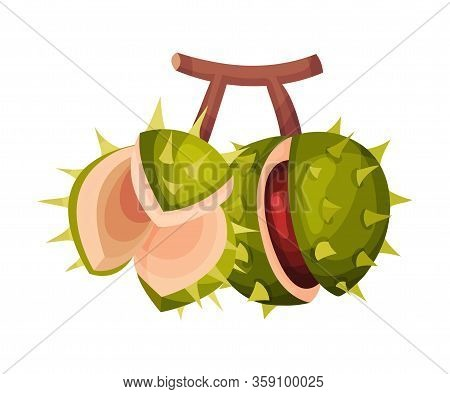 Thorned Chestnut Shell With Brown Fruit Inside Hanging On Tree Branch Vector Illustration