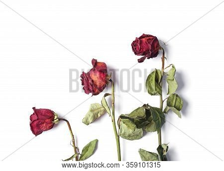 Dead Red Rose On A White Background With Copy Space