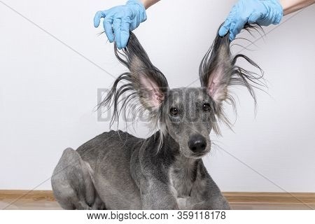 A Grey Greyhound Saluki With Long Flapping Flying Ears On White Background. Isolated. Barbershop Con
