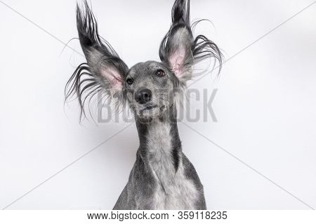 A Grey Greyhound Saluki With Long Flapping Flying Ears On White Background. Isoladed. Barbershop Con