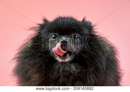 Pomeranian Spitz Black Puppy Close Up Portrait. Cute Fluffy Spitz Dog On Pink Background. Family-fri