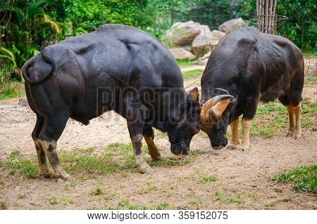 The Two Buffaloes Butt Heads In A Park On Phu Quoc Island