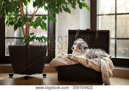 Fluffy And Cute Puppy Of An Australian Shepherd. Dog At Home In The Chest By The Window. Pet Indoors