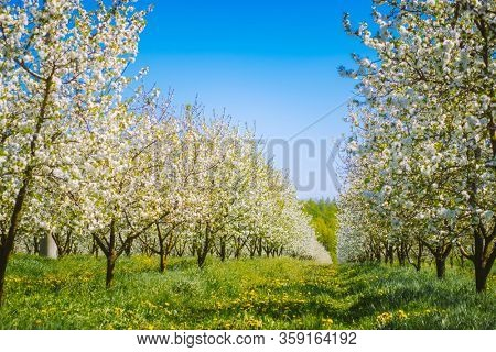 Charming ornamental garden with blooming lush trees in idyllic sunny day. Scenic image of trees in charming garden. Flowering orchard in spring time. Seasonal wallpaper. Beauty of earth, Ukraine.