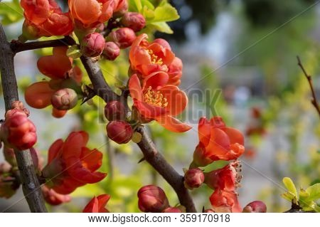 Flowering Garden Shrub In Red With Bee