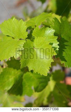 Chardonnay Grape Vine - Latin Name - Vitis Vinifera Chardonnay