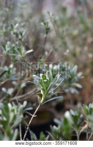 Shrubby Bindweed Leaves - Latin Name - Convolvulus Cneorum