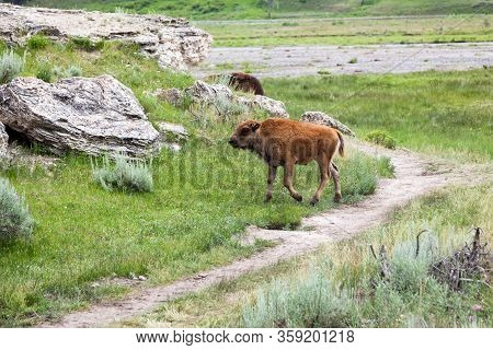 A Baby Bison Walking By A Well Worn Trail And A Dormant Hot Springs Mound At Yellowstone National Pa
