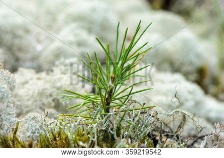A Young Sapling Of Spruce Grows In The Ground. Small Coniferous Tree. Young Sapling Spruce In A Natu