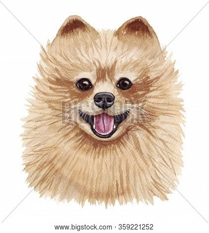 Watercolor Illustration Of A Funny Dog. Popular Dog Breed. Pomeranian Dog. Pomeranian Spitz. Hand Ma