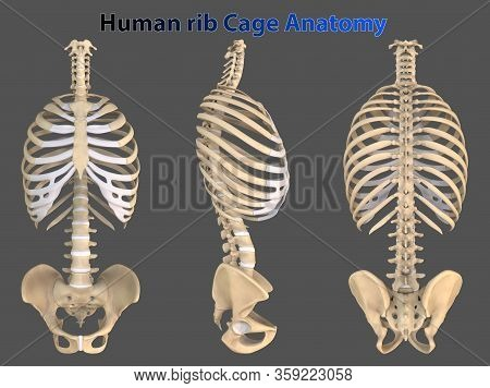 Rib Cage Or Thoracic Cage Is The Arrangement Of Ribs Attached To The Vertebral Column And Sternum In