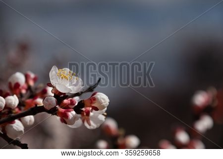 Branches Of Blossoming Apricot Macro With Soft Focus For Easter And Spring Greeting Cards. Gentle An