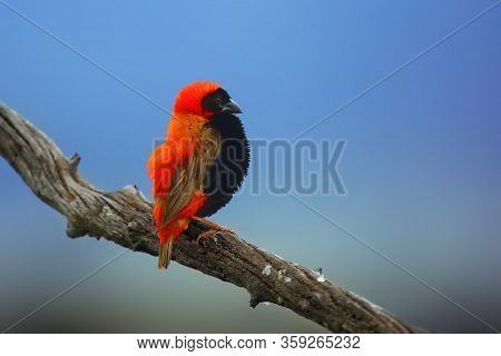 The Southern Red Bishop Or Red Bishop (euplectes Orix) Sitting On The Branch With Blue Background. R