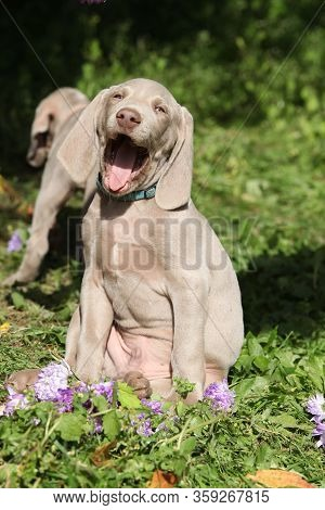 Beautiful Puppy Of Weimaraner Vorsterhund