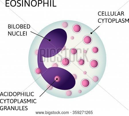 Monocytes, Variety Of White Blood Cells. Consist Of Acidophilic Cytoplasmic Granules, Cellular Cytop
