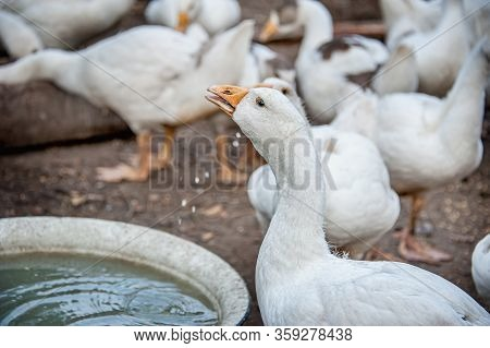 Geese Go To Water. A Free-range Duck Farm With A Flock Of Birds. Domestic Ducks, Geese And Drakes Wa