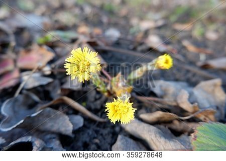 Yellow Foalfoot Flowers On Last Year Fallen Leaves Background Top Close Up View. Spring, New Life, R