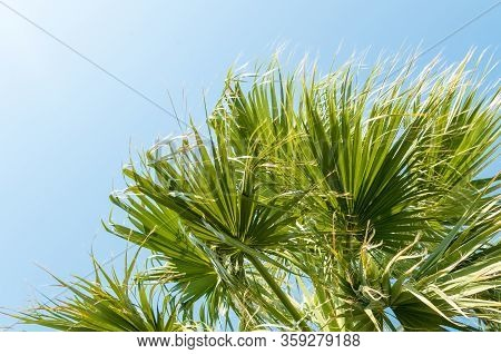 Palm Leaves. A Palm Tree, Seen From Below. Green Palm Leaves Against Blue Sky Background. Daylight,