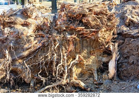 The Roots Of An Old Tree In A City Park Uprooted By A Strong Wind. A Storm Pulled Out An Old Tree Wi
