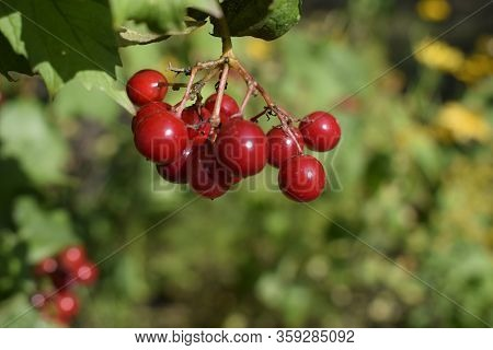 Red Viburnum Berries On Branch In The Garden. Viburnum (viburnum Opulus) Berries And Leaves Outdoor