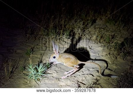 Jerboa / Jaculus The Jerboa Are A Steppe Animal And Lead A Nocturnal Life
