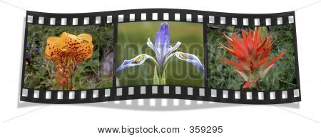Film Strip Of Three Wildflowers