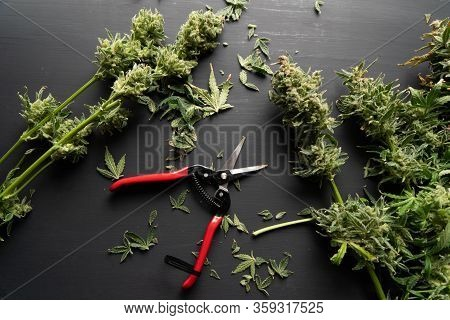 Mans Hands Trimming Marijuana Bud. Growers Trim Cannabis Buds. Trim Before Drying.