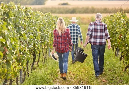 Harvesters at a winery harvesting grapes between vines