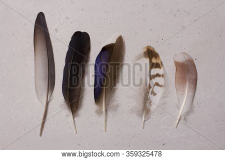 A Row Of Fluffy Tender Pockmarked Feathers And Feather Lies On A Light Gray Modern Background. The C