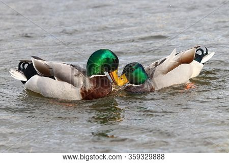 A Pair Of Mallard Drakes Seizing Each Other By The Chest Feathers During A Fight