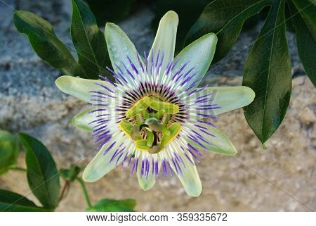 Close-up Of Passion Flower With Dewdrops On, Passiflora Caerulea, The Blue Passionflower, Bluecrown