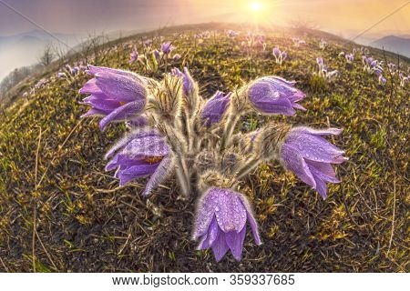 Sleeping Grass, Or Openworm (pulsatílla Pátens)
