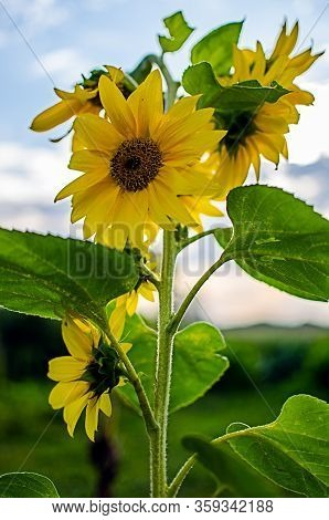 Sunflowers Grow Outdoors In Summer On A Beautiful Sunny Day