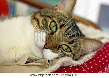 Cute Tabby Cat With Green Eyes And Long Whiskers Looks At Camera With A Sweet Expression. Close-up P