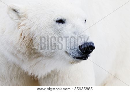 Ice Bear Closeup