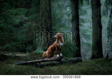 Dog In The Green Forest. Nova Scotia Duck Tolling Retriever In Nature Among The Trees. Walk With A P