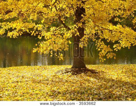 Fall Tree In Yellow