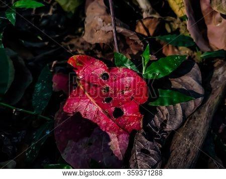 Morning Sunlight Falls On The Red Arjuna Leaf In The Summer Season.