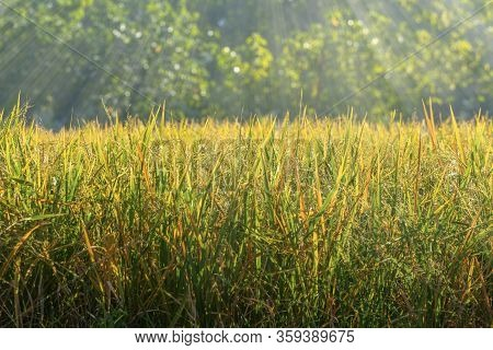 Golden Rice Field And Gold Light Beam Cover The Field. Rice Field With Selected Focus, Blurred Big T