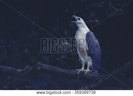White Bellied Sea Eagle Roaring In Forrest. Side View Of White Eagle Holding Tree Bunch, Adjusted Bl