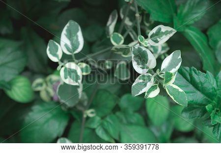 Variegated Dogwood Shrub. White Green Leaves Of Umbrella Catchrird Tree Nyctaginaceae Pisonia Umbell