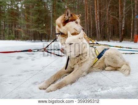 Siberian Huskies White And Brown Rest In The Snow. Dog Sled From Siberian Husky.