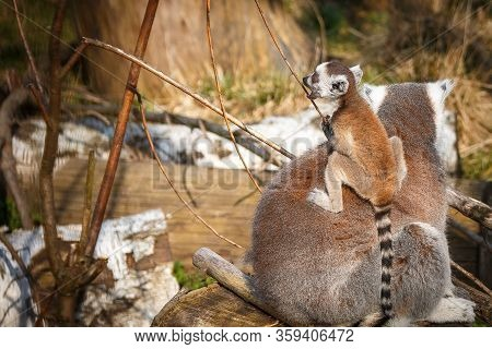 Lemur With A Child