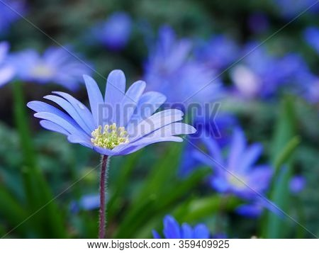 Close Up Of An Open Pale Blue Anemone Blanda Flower (winter Windflower) With Others Behind