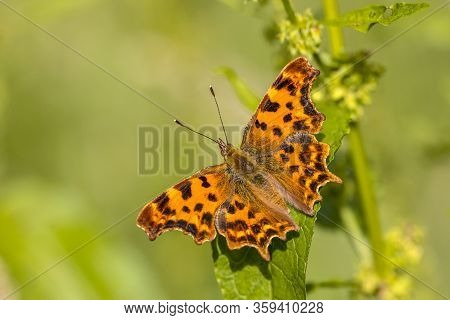 Comma Butterfly (polygonia C-album) Perched On Leaf In Afternoon Sun With Green Background. Brummen,