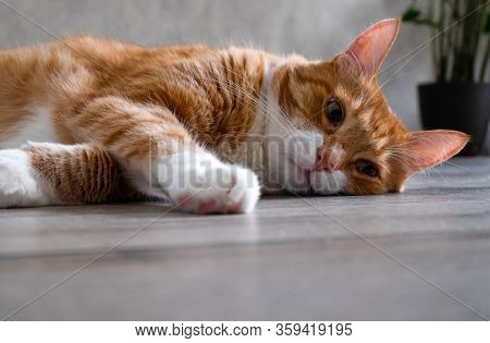 Sad Sleepy Red-haired House Cat Lies On The Floor Of A Natural Tree In A Living Room In The Apartmen