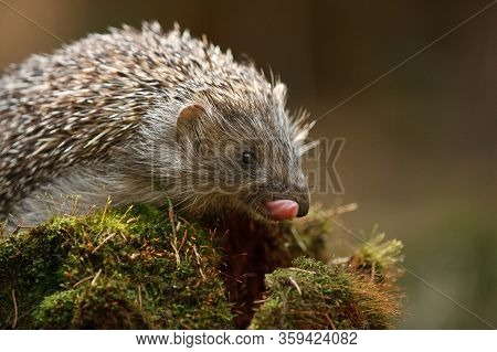 Little Hedgehog As Common European Forest Wildlife