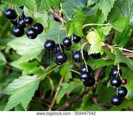 Currant Black Branch With Fruits. Organic Currant In An Orchard. Branches With Juicy Fruits. Close U